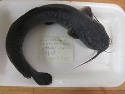 Image of labyrinth catfishes