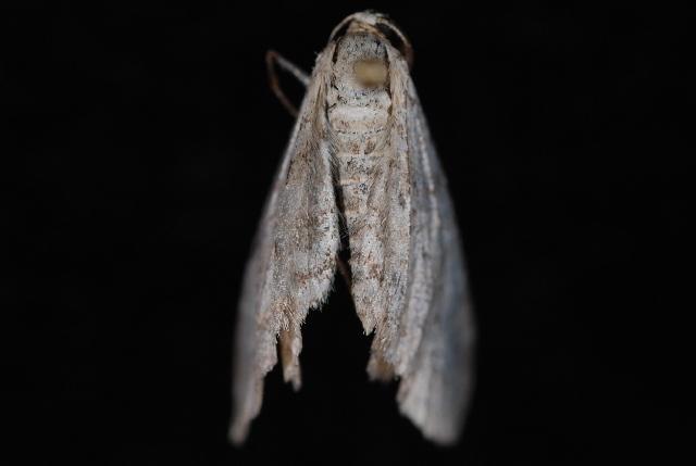 Image of <i>Eupithecia cretaceata</i> Packard 1874