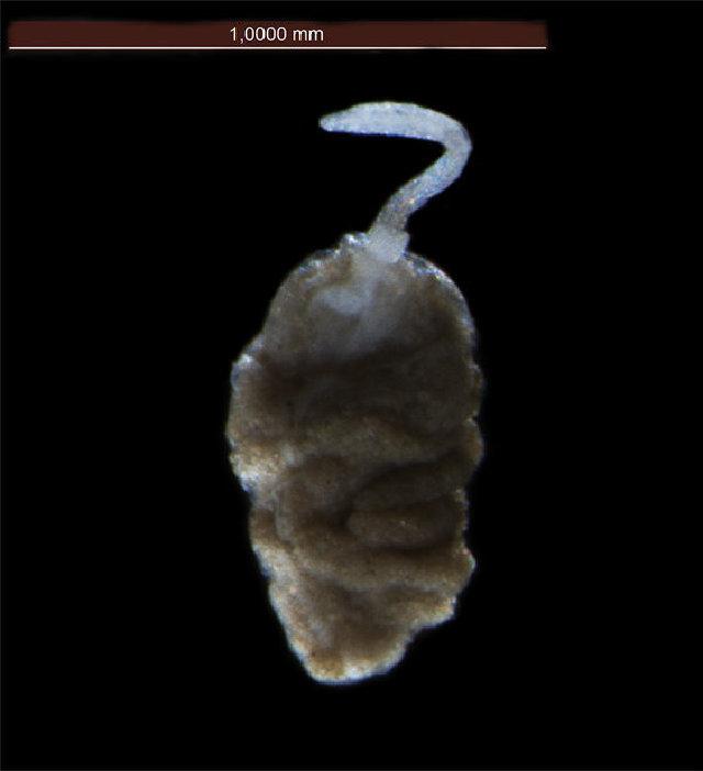 Image of Bonelliidae