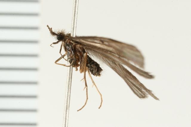 Image of <i>Lepidostoma</i> (<i>Nosopus</i>) <i>pictile</i> (Banks 1899)