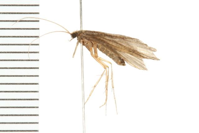 Image of <i>Phylocentropus placidus</i> (Banks 1905)