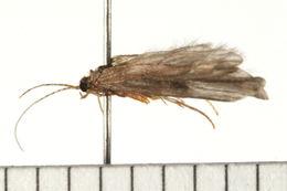Image of <i>Psychomyia flavida</i> Hagen 1861