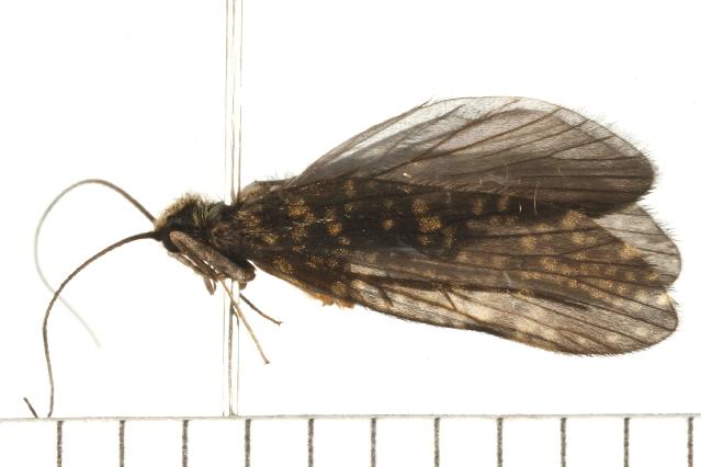 Image of <i><i>Dolophilodes</i></i> (Dolophilodes) <i>distinctus</i> (Walker 1852)