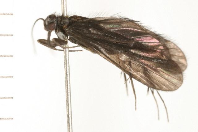 Image of <i><i>Chimarra</i></i> (Chimarra) <i>aterrima</i> Hagen 1861
