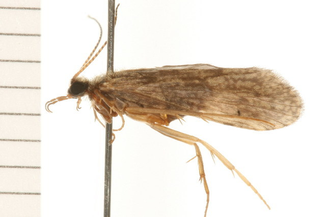 Image of <i>Holocentropus flavus</i> Banks 1908