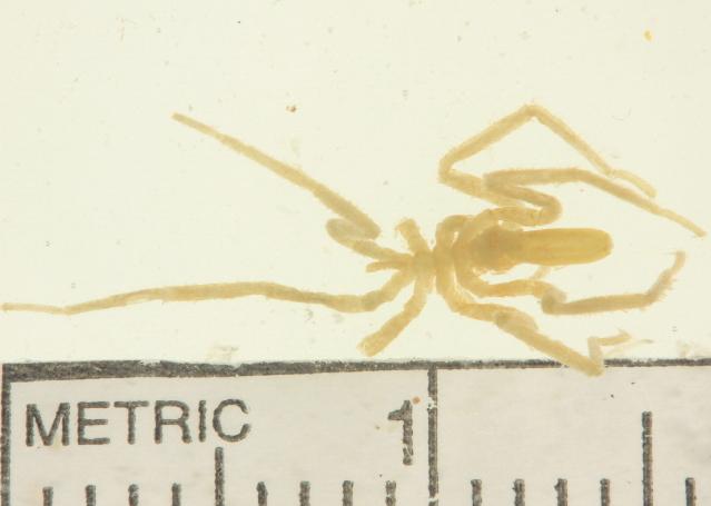 Image of <i>Sericosura verenae</i> (Child 1987)