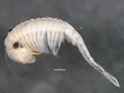 Image of <i>Eubranchipus bundyi</i> Forbes 1876