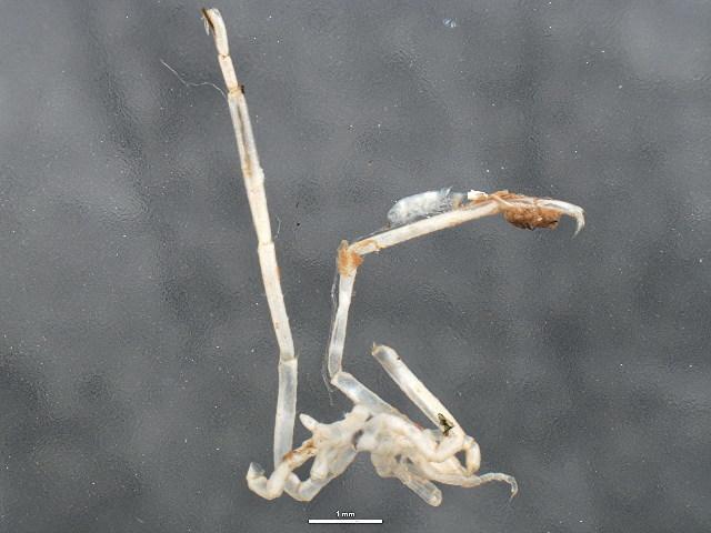 Image of Phoxichilidiidae