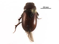 Image of <i>Dellacasiellus ruficlarus</i> (Fall 1932)