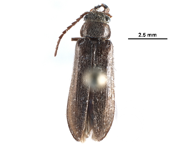 Image of dascillid soft-bodied plant beetles