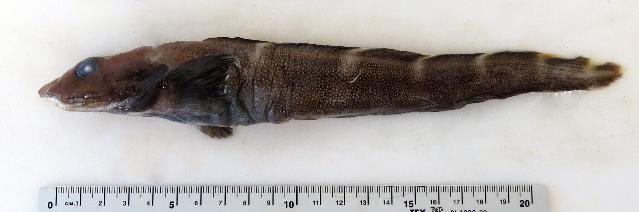 Image of Doubleline eelpout