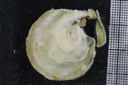 Слика од Pododesmus
