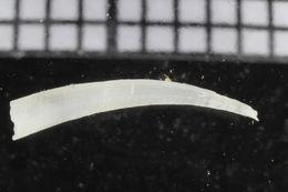 Image of Entalinidae