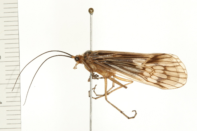 Image of <i>Hydatophylax argus</i> (Harris 1869)