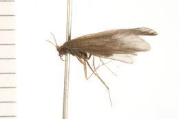 Image of <i>Helicopsyche</i> (<i>Feropsyche</i>) <i>borealis</i> (Hagen 1861)