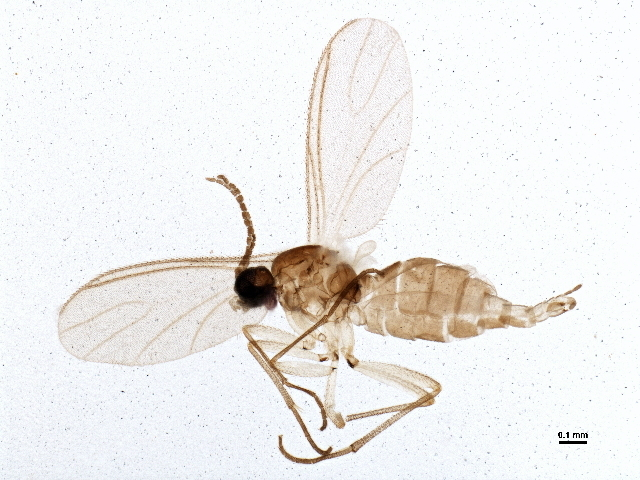 Image of dark-winged fungus gnats