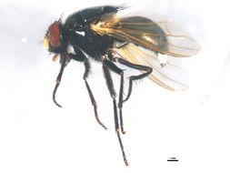 Image of <i>Mesembrina latreillii</i> Robineau-Desvoidy 1830