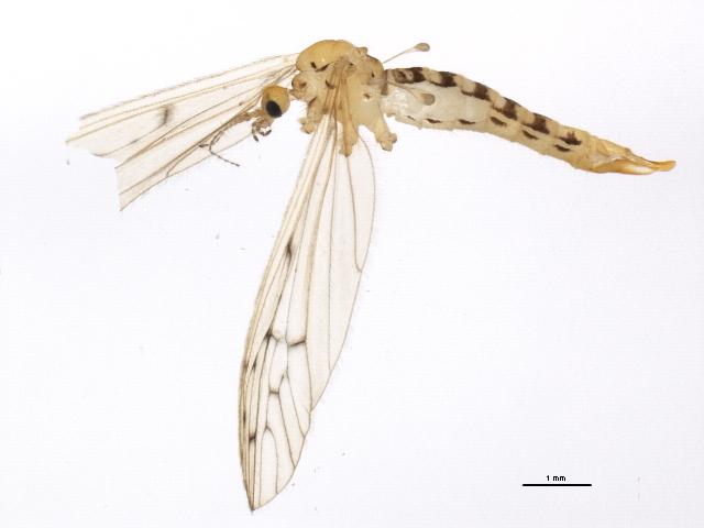 Image of <i>Cladura flavoferruginea</i> Osten Sacken 1860