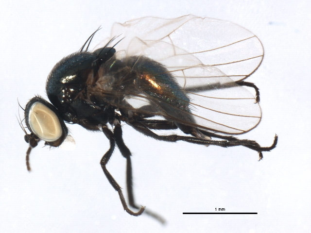 Image of <i>Melanagromyza virginiensis</i> Spencer 1986