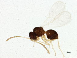 Image of Charipinae