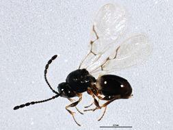 Image of Eucoilinae