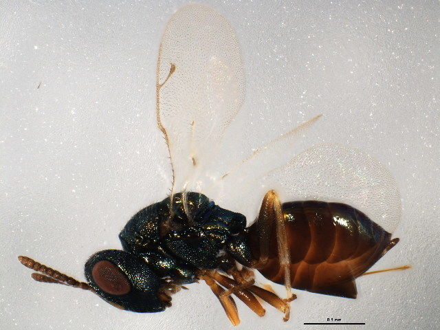 Image of Cecidostiba