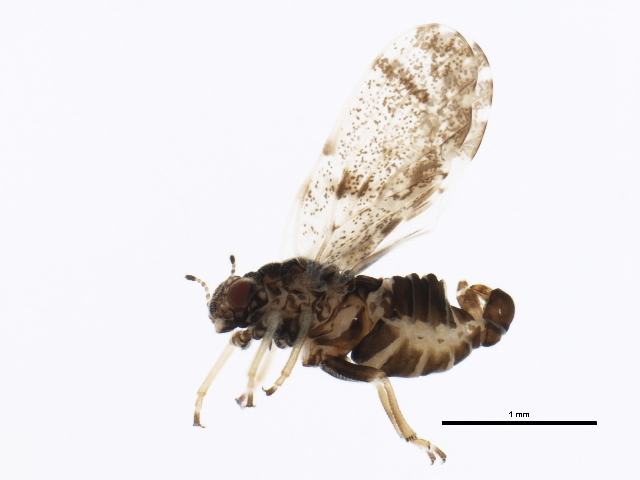Image of jumping plantlice