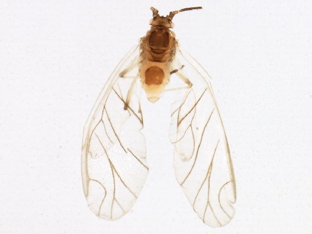 Image of <i>Capitophorus elaeagni</i> (Del Guercio 1894)