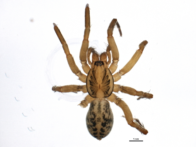 Image of <i>Agroeca pratensis</i> Emerton 1890