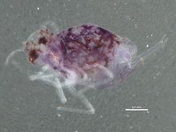 Image of Katiannidae