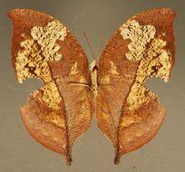 Image of <i>Zaretis <i>itys</i></i> ssp. itys