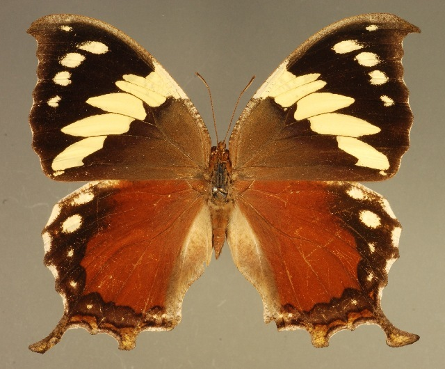 Image of <i>Hypna clytemnestra mexicana</i> Hall 1917