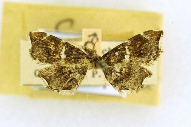 Image of Simaethistidae