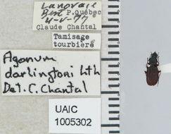Image of <i>Agonum</i> (<i>Europhilus</i>) <i>darlingtoni</i> Lindroth 1954