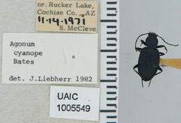 Image of <i>Agonum cyanopis</i>