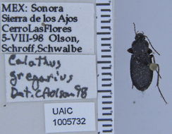 Image of <i>Calathus</i> (<i>Neocalathus</i>) <i>gregarius</i> (Say 1823)
