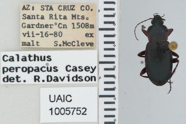 Image of <i>Calathus</i> (<i>Neocalathus</i>) <i>peropacus</i> Casey 1920