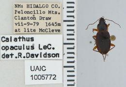 Image of <i>Calathus</i> (<i>Neocalathus</i>) <i>opaculus</i> Le Conte 1854