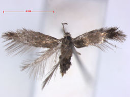 Image of <i>Stigmella samiatella</i> (Zeller 1839) Vári 1950