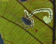Image of <i>Stigmella saginella</i> (Clemens 1861) Wilkinson et al. 1979