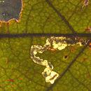539.nepta 29907 kozlov 71 ectoedemia quercus castaneifolia dead larva leafmine 1377016996 jpg.130x130