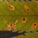 Image of <i>Stigmella magdalenae</i> (Klimesch 1950) Emmet 1979
