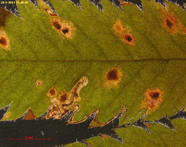 539.nepta 29955 kozlov arch 37 stigmella magdalenae dead larva leafmine 1376944006 jpg