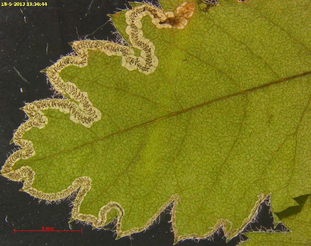 539.nepta 29956 kozlov arch 45 stigmella nylandriella dead larva leafmine 1376944004 jpg
