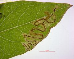 Image of <i>Stigmella freyella</i> (Heyden 1858) Vári 1950