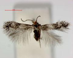 Image of <i>Acalyptris bicornutus</i> (Davis 1978) Puplesis et al. 2000