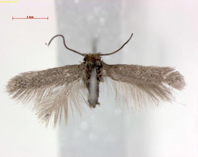 Image of <i>Acalyptris pyrenaica</i> A. Laštuvka & Z. Laštuvka 1993