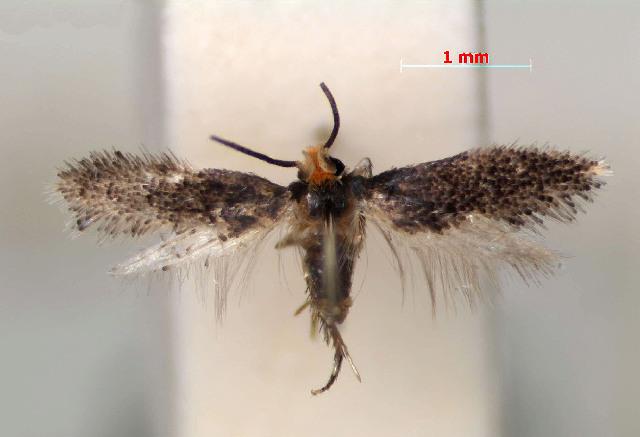 Image of <i>Ectoedemia nyssaefoliella</i> (Chambers 1880) Wilkinson et al. 1981