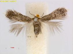 Image of <i>Stigmella pallidiciliella</i> Klimesch 1948