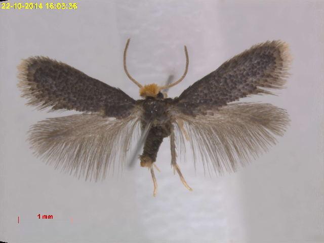 Image of <i>Ectoedemia sinevi</i> Puplesis 1985